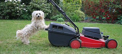 Der Welpe sollte schon früh mit akustischen Reizen, wie z.B. einem Rasenmäher konfrontiert werden.