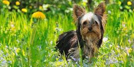 Yorkshire_Terrier_Rasse