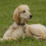 Afghanischer Windhund Rasse