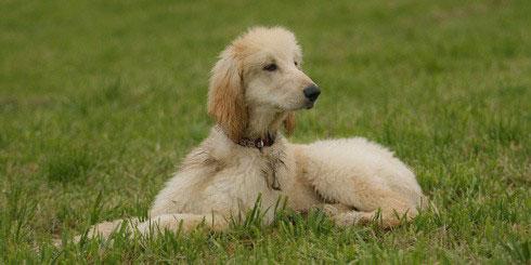 Afghanischer Windhund Hunderasse
