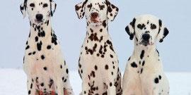 Dalmatiner_Hunde