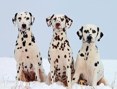 Dalmatiner Rasse