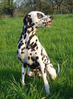 Dalmatiner Hunde