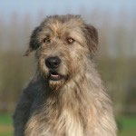 Irish Wolfhound Rasse