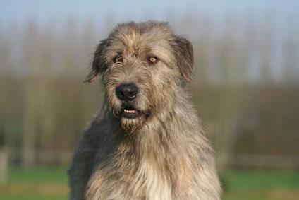Irish Wolfhound Hunderasse