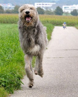 Irish Wolfhound Hund