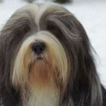 Bearded_Collie Rasse