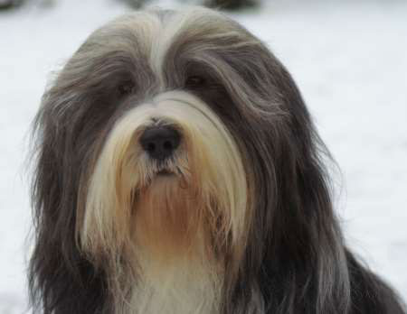 Bearded_Collie Hunderasse