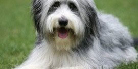 Bearded_Collie_Rasse
