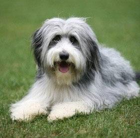 Beardie Collie Hund