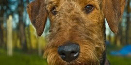 Airedale_Terrier1