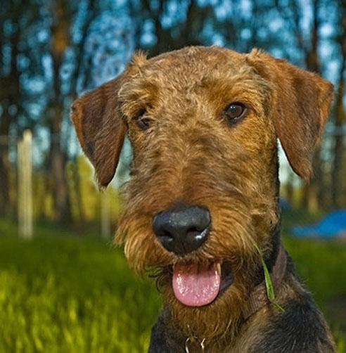 Airedale_Terrier1_Hunderasse
