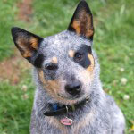 Australian_Cattle_Dog_Rasse_1