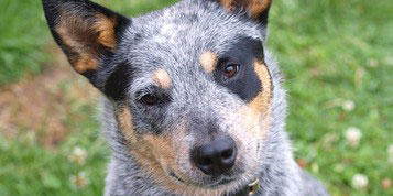 Australian_Cattle_Dog_1