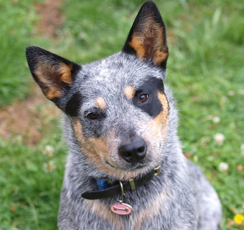 Australian_Cattle_Dog_Hunderasse _1