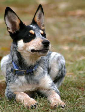 Australian_Cattle_Dog_Hunderasse _2