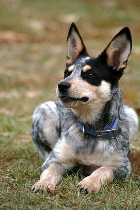 Boy Dog Names For Blue Heelers