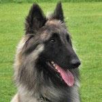 Hunderasse_belgischer_Schäferhund