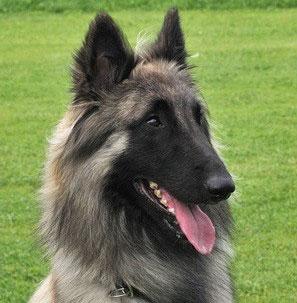 Hunderasse _belgischer_Schäferhund