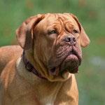 Bordeaux_Dogge1_Hunderasse