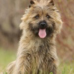 Cairn_Terrier1