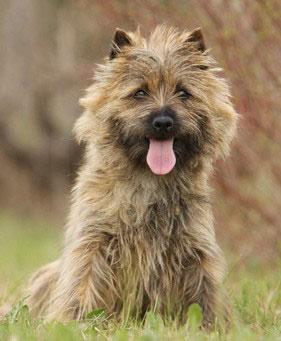 Cairn Terrier sind sehr lebhafte Hunde, die viel Auslastung brauchen