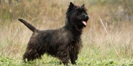 Cairn_Terrier2