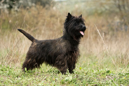 Cairn_Terrier2_Hunderasse