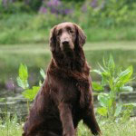 Hunderasse_Flat_Coated_Retriever1