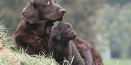 Flat_Coated_Retriever2