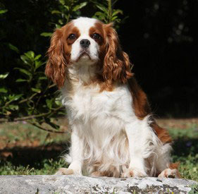 Cavalier Dog Breed