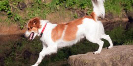 Kromfohrlaender_Hund2