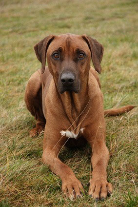 Rhodesian Ridgeback 2018 Charakter Wesen Hunde Fande