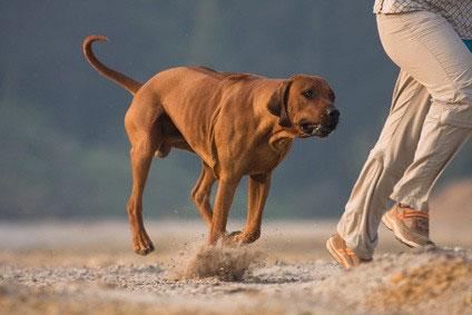 Hunde Für Löwenjagd