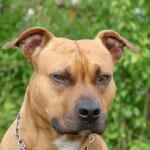 Staffordshire_Bullterrier_Hunde1