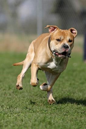 Staffordshire_Bullterrier_Hunde2