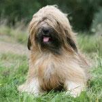 Hunderasse_Tibet_terrier1