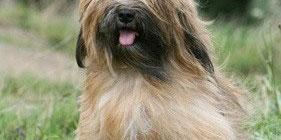 Tibet_terrier1