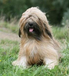 Hunderasse _Tibet_terrier1