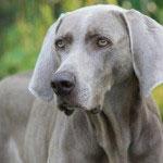 Weimaraner_Hunde1