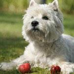 Westhighland_Terrier_Hunde1