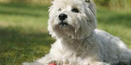 Westhighland_Terrier1
