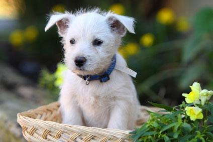 Westhighland_Terrier_Hunde2