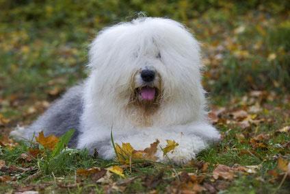 Der Bobtail ist ein sehr lernfähiger Hund und auch für Hundesportarten wie Agility geeignet.