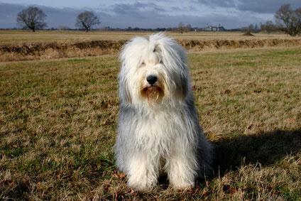 Bobtail2_Hunde