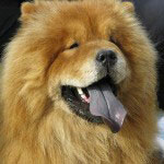 Hunderasse_Chow-Chow1