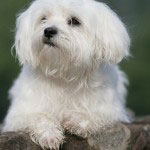 Hunderasse_Malteser1
