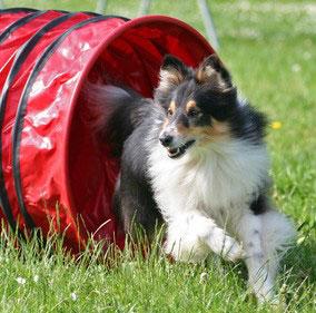 Beim Hundesport Agility gilt es möglichst viele Hindernisse in kürzester Zeit zu durchlaufen und zu überwinden.