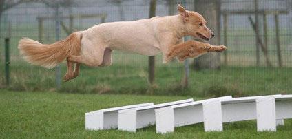 """Der Hundesport Agility wurde 1977 in England """"erfunden""""."""