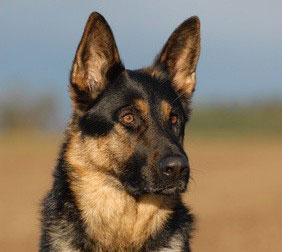 Der Schäferhund besitzt eine hohe Eignung als Blindenhund